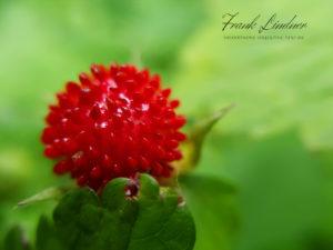 Erdbeere - Smartphone-Makro