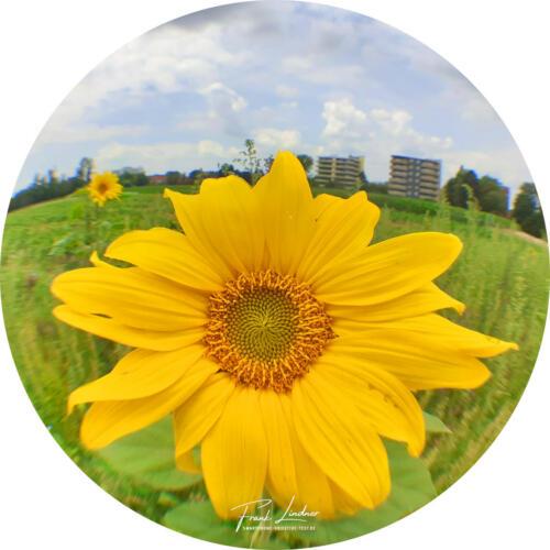 Sonnenblume - Smartphone Fisheye Foto