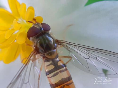Wespe auf Blüte - Smartphone-Makro