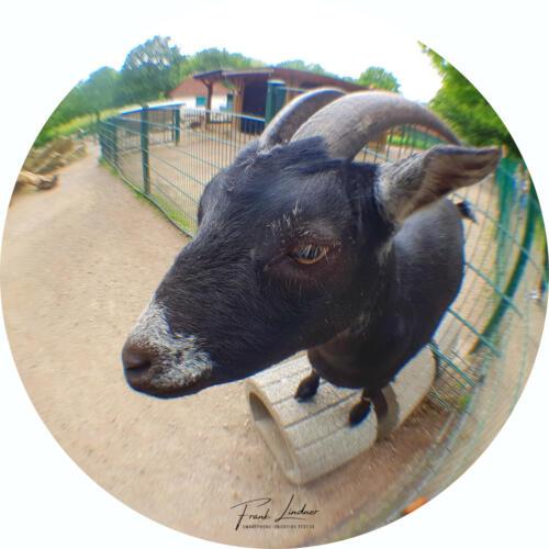 Ziege - Smartphone Fisheye-Foto